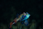 Mandarin fish pairing, Light house reef, Malapascua Island, Central Visayas, Philippines, Pacific Ocean