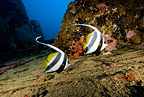Couple of Longfin bannerfish on Kuda Giri wreck, Maldives, Indian Ocean