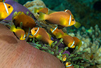 Blackfoot anemonefish, Maldives, Indian Ocean