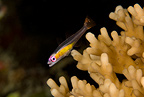Redeye hovering goby on hard coral, Maldives, Indian Ocean
