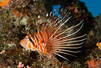 Spotfish lionfish, Maldives, Indian Ocean