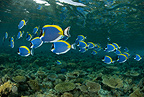 Shoal of Powder-blue surgeonfish, Maldives, Indian Ocean