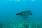 Whale shark, Vulnerable (IUCN), Maldives, Indian Ocean