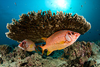 Two Sabre squirrelfish under hard coral, Maldives, Indian Ocean