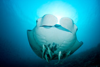 Manta ray, Maldives, Indian Ocean
