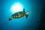 Hawksbill turtle, Critically endangered (IUCN), Maldives, Indian Ocean