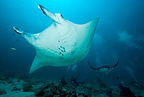 Manta ray on a cleaning station, at Donkalo Thila, dive site, Maldives, Indian Ocean