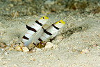 Couple of Yellownose shrimpgoby with alpheid shrimp, Maldives, Indian Ocean