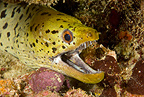 Spot-face moray, Maldives, Indian Ocean