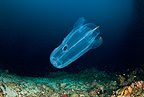 Comb jelly, Maldives, Indian Ocean