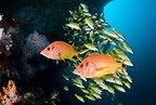 Two Sabre squirrelfish and Shoal of Five-line snapper, Maldives, Indian Ocean