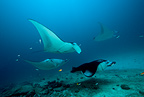 Several manta ray on a cleaning station, at Donkalo Thila, dive site, Maldives, Indian Ocean