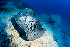 Marbled stingray, Maldives, Indian Ocean