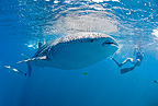 Snorkelers swimming with whale shark, Vulnerable (IUCN), Maldives, Indian Ocean