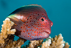 Freckled hawkfish, Maldives, Indian Ocean