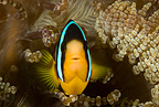 Yellow-tail anemonefish, Maldives, Indian Ocean