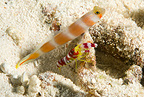 Aurora shrimpgoby with alpheid shrimp, Maldives, Indian Ocean