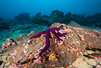 Sea star, Malpelo Island, National Park, Natural World Heritage Site, Colombia, East Pacific Ocean
