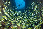 Shoal of Blue and gold snapper, La Catedral dive site, Malpelo Island National Park, Natural World Heritage Site, Colombia