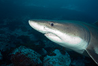 Smalltooth sand tiger or bumpytail ragged-tooth, Malpelo Island National Park, Natural World Heritage Site, Colombia, Pacific