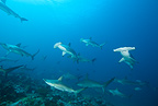 Schooling Scalloped hammerhead sharks, Endangered (IUCN), Malpelo Island National Park, Natural World Heritage Site, Colombia