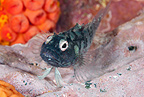 Blenny, Malpelo Island, National Park, Natural World Heritage Site, Colombia, East Pacific Ocean
