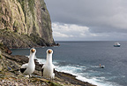 Couple of Masked Booby and MV Sea Wolf, Malpelo Island, National Park, Natural World Heritage Site, Colombia, East Pacific Ocean