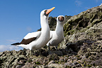 Couple of Masked Booby, Malpelo Island, National Park, Natural World Heritage Site, Colombia, East Pacific Ocean