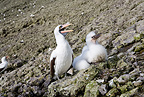 Masked Booby with chick, Malpelo Island, National Park, Natural World Heritage Site, Colombia, East Pacific Ocean