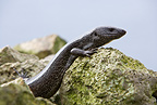 Lizard, Dotted Galliwasp, Malpelo Island, National Park, Natural World Heritage Site, Colombia, East Pacific Ocean