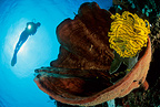 Scuba diver, sponge and crinoid, Manado, north Sulawesi, Indonesia, Pacific Ocean
