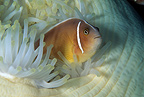Pink anemonefish in an anemone, Manado, north Sulawesi, Indonesia, Pacific Ocean