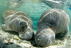 Couple of Florida manatee, a subspecies of the West Indian manatee, Vulnerable (IUCN), Crystal River, Florida, United States