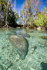 Florida manatee swimming under the surface, a subspecies of West Indian manatee, Vulnerable (IUCN), Crystal River, Florida, USA