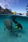 Snorkeler with Florida manatee, a subspecies of the West Indian manatee, Crystal River, Florida, United States