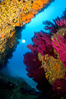 Scuba diver with red gorgonia and Yellow Cluster Anemone, Marettimo Island, Egadi group, NW Sicily, Mediterranean Sea, Italy