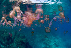 Mauve stinger jellyfish close to the surface, Marettimo Island, Egadi group, NW coast Sicily, Mediterranean Sea, Italy