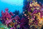 Swarm of Mediterranean fairy basslet and red gorgonia, Marettimo Island, Egadi group, NW Sicily, Mediterranean Sea, Italy