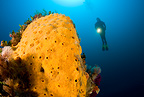 Scuba diver with encrustating yellow sponge, Marettimo Island, Egadi group, on NW coast of Sicily, Mediterranean Sea, Italy