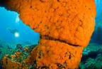Scuba diver and rock covered with warm water coral, Marettimo Island, Egadi group, NW coast of Sicily, Mediterranean Sea, Italy