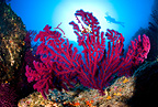 Scuba diver and red gorgonia, Marettimo Island, Egadi group, on the north western coast of Sicily, Mediterranean Sea, Italy
