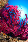 Scuba diver and red gorgonia, Marettimo Island, small mountainous island of Egadi group, NW Sicily, Mediterranean Sea, Italy