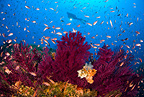 Scuba diver with red gorgonia and Mediterranean fairy basslet, Punta Campanella, Massa Lubrense, Italy, Tyrrhenian Sea