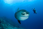 Scuba diver, photographer with Ocean Sunfish, Crystal Bay, Nusa Penida, Bali Island, Indonesia, Pacific Ocean