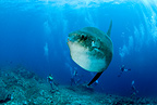 Scuba divers and Ocean Sunfish, Crystal Bay, Nusa Penida, Bali Island, Indonesia, Pacific Ocean