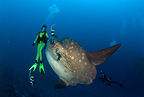 Scuba diver with Ocean Sunfish, Crystal Bay, Nusa Penida, Bali Island, Indonesia, Pacific Ocean