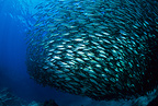 Baitball of Pacific flatirong herring, Sea of Cortez, Baja California, Mexico, East Pacific Ocean
