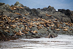 Steller sea lion or Northern sea lion, Endangered (IUCN), Yasha Island, Alaska, North Pacific Ocean