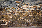 Steller (Northern) sea lions, Endangered (IUCN), Yasha Island, Alaska, North Pacific Ocean