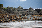 Colony of steller (Northern) sea lion, Endangered (IUCN), Yasha Island, Alaska, North Pacific Ocean